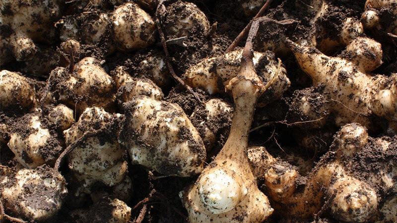 自宅でも育てられる?菊芋をおいしく作る栽培方法。